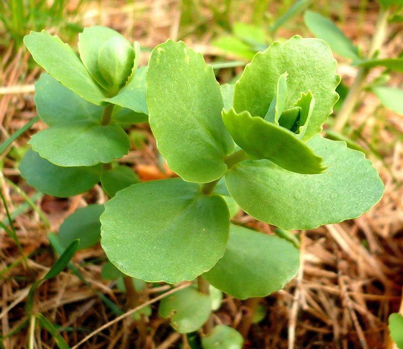 Очиток - Заячья капуста в лесу