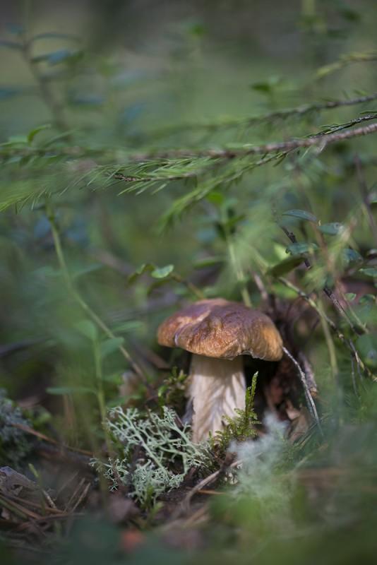 Белый гриб - Боровик