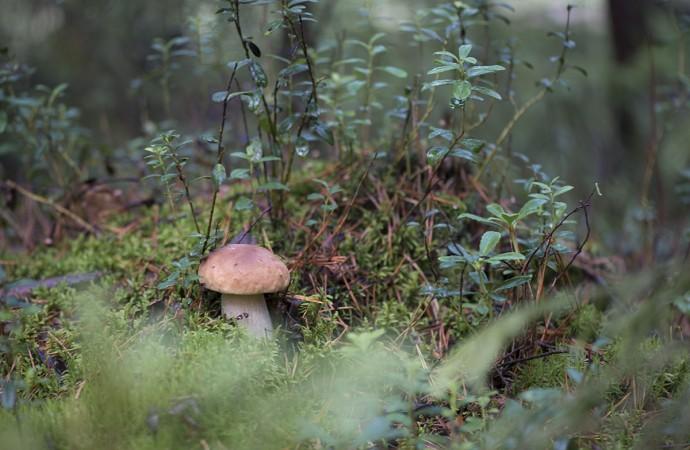 Белый гриб (Боровик) в лесу