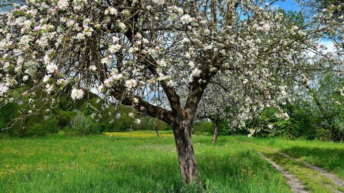 Яблоня у леса
