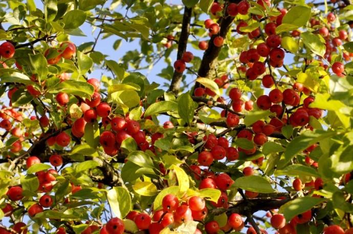 Дикие яблоки. Полезные свойства