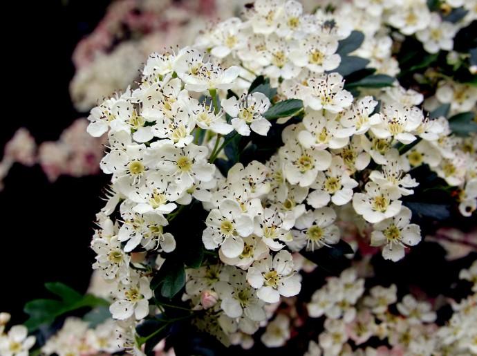 Фото цветы Боярышника