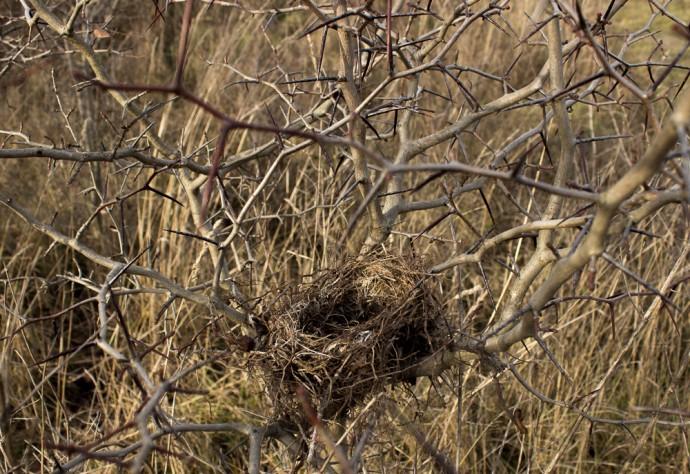 Гнездо в кусте Боярышника