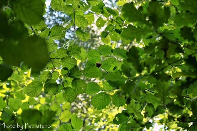 В зарослях Лесного ореха - Лещины