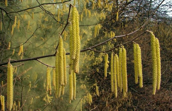 Серёжки Лесного ореха пускают пыльцу