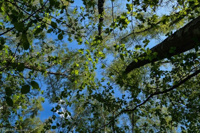 Лесной орех в берёзовом лесу
