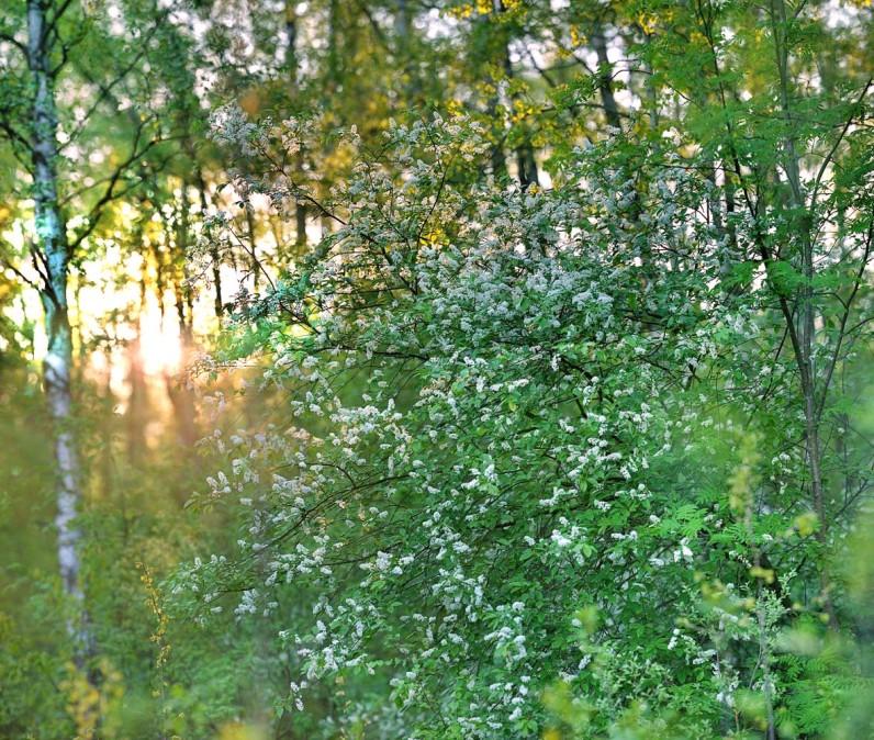 Дикая Черёмуха в лесу