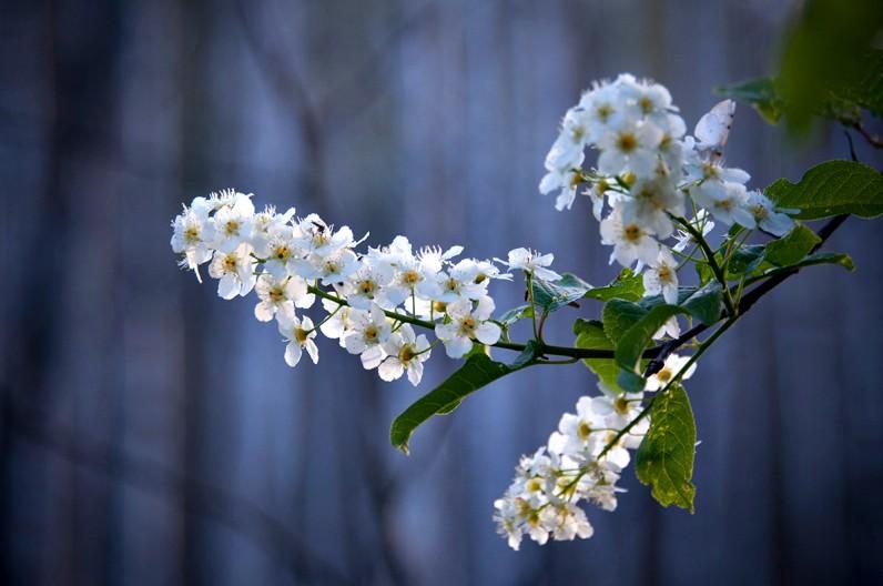 Когда цветёт Черёмуха